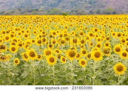 Beauty Of Yellow Full Bloom Sunflower Field, Natural Landscape Background