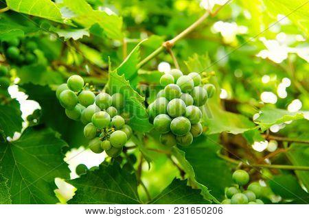 Green Vine Branch At The Rural Farm