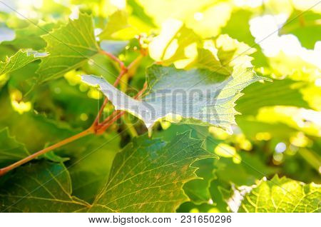 A Green Vine Leaves As A Background