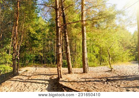 A Pine Forest With Sand And Sun