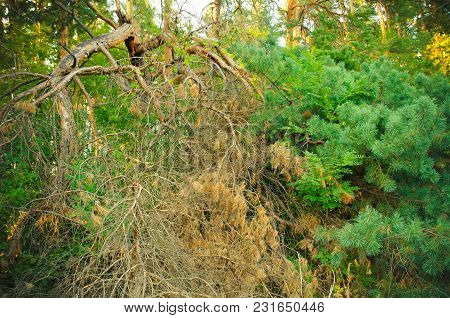 A Thicket Of Pine Forest In Summer