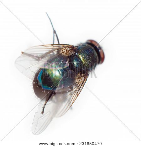 A Fly Isolated On A White Background