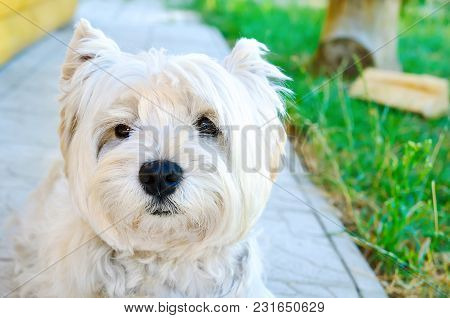 West Highland White Terrier On The Walk