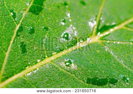 Wet Green Leaf As A Background Closeup