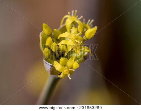 Blooming Flowers Of Cornelian Cherry European Cornel Cornelian (cornus Mas)