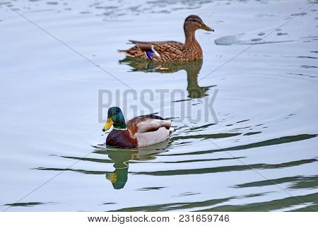 The Mallard. The Mallard (anas Platyrhynchos) Is A Dabbling Duck That Breeds Throughout The Temperat