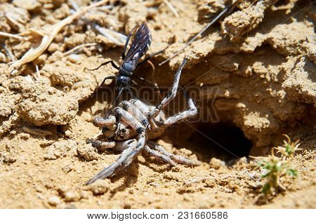 Spider Wasp And Paralyzed Spider.  Wasps In The Family Pompilidae Are Commonly Called Spider Wasps.