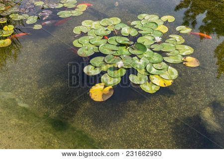 Decorative Fish Swim In Pond With Water Lilies. Sunny Day