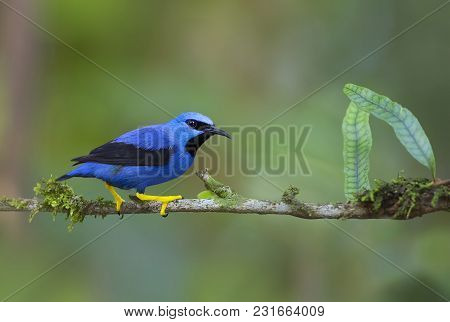 Shining Honeycreeper Perched On A Branch In The Jungles Of Costa Rica