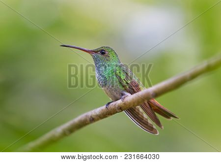 Rufous-tailed Hummingbird Perched On Branch In Costa Rica