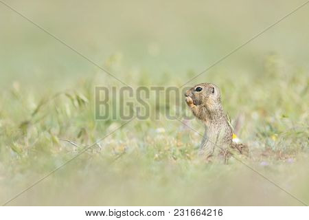 Cute European Ground Squirrel Standing And Eating On A Field Of Green Grass,spermophilus Citellus