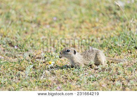 Cute European Ground Squirrel Running On A Field Of Green Grass,spermophilus Citellus