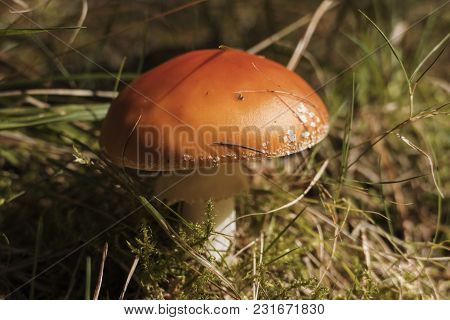 Close Up Of Red Fly Amanita (amanita Muscaria) In The Forest In Fall. Autumn Colorful Scene Backgrou