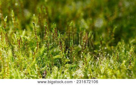 Green Moss Tussock
