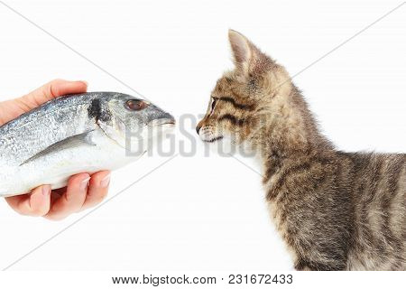 Female Hand Offers A Striped Kitten A Dorado Fish On A White Background