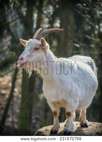 Cute White Male Goat Standing On A Rock On A Sunny Spring Day