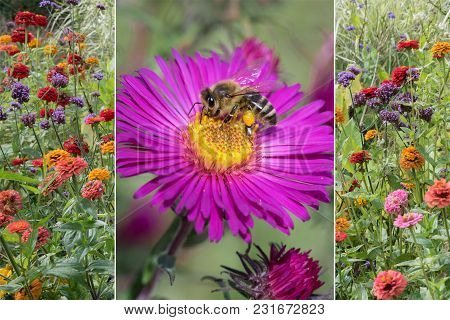 Collage Autumnal - Flower Meadow With Colorful Zinnias And Aster Blossom With Honey Collecting Bee