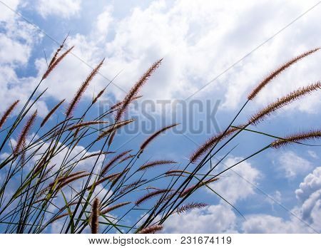 Napier Grass Flowers And The Fluffy Clouds In Blue Sky
