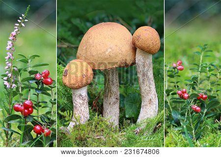 Collage Autumn - Three Boletus Mushrooms In The Moss, Leccinum Quercinum, And Ripe Lingonberries