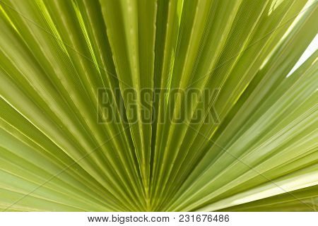 Striped Of Palm Leaf Abstract Green Texture Background