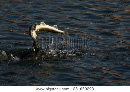 Cormorant - A Swimmer And Hunter, He Has Beautiful Black Plumage