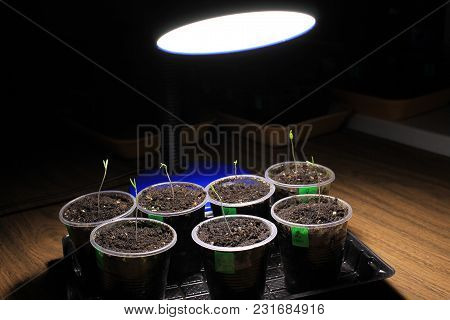 Evening supplementary lighting of young sprouts of tomato seedlings in early spring by LED lamp at home. Front view. poster