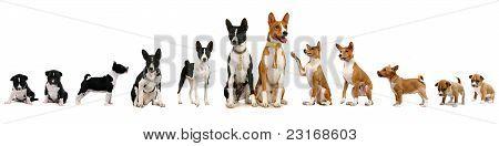 Group of basenji dog and puppies
