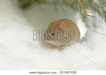 Cute Field Mouse Sitting On A White Snow