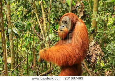 Male Sumatran Orangutan (pongo Abelii) Standing On The Ground In Gunung Leuser National Park, Sumatr