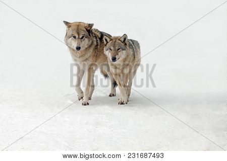 Wolves Male And Female Walking Together, Isolated Background