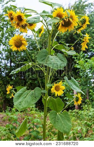 Decorative Sunflower With Lots Of Flowers On One Stalk Outdoors