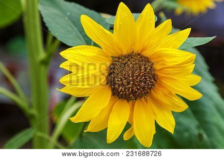 Scenic Wallpaper With A Close-up Of Sunflower Outdoors Against Green Background