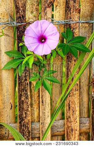 Morning Glory Ivy Plant Growing Next To Bamboo Fence And Barbed Wire