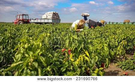 Harvesting Yellow And Red Bell Peppers In A Field
