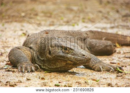 Komodo Dragon (varanus Komodoensis) Lying On The Ground On Rinca Island In Komodo National Park, Nus