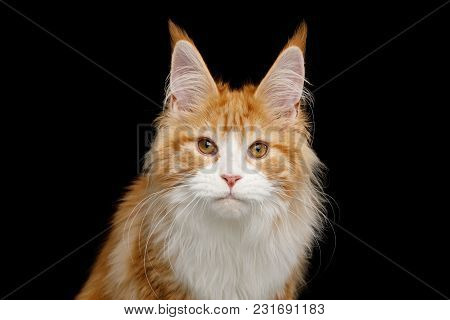Portrait Of Ginger Maine Coon Cat With Brushes On Ears, Stare In Camera, Isolated Black Background