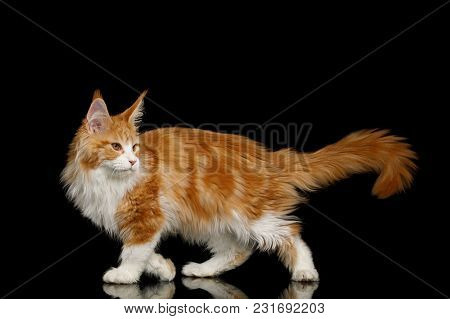 Playful Ginger Maine Coon Cat, Walking With Up Tail, Isolated Black Background, Side View