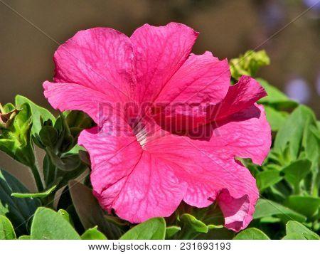 Pink Petunias. Petunia Is A Genus Of 35 Species Of Flowering Plants Of South American Origin