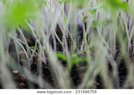 Stems Of Seedlings Of Young Tomatoes Close-up