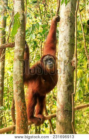 Female Sumatran Orangutan (pongo Abelii) Standing On A Bamboo In Gunung Leuser National Park, Sumatr