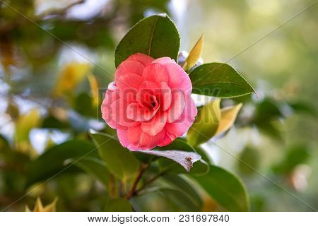 Beautiful Pink Flower Of Japanese Camellia On Blurred Light Green Background.