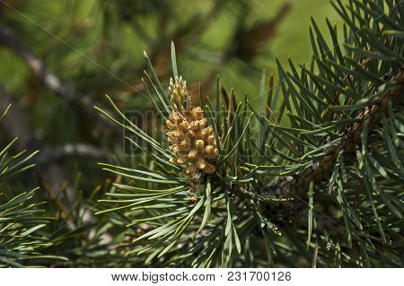 Pine Tree Branch With New Tip In Early Summer, Plana Mountain, Bulgaria