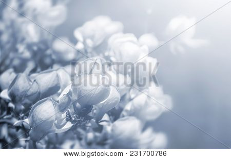 Monochrome Soft Focus Image Of Blossoming Magnolia Flower In Springtime With Sun Light And Copyspace