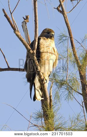 A Coopers Hawk Native To Arizona Perched In A Tree Watching Me Take His Photo.
