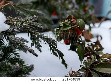 Bright Red Berries With A Sprig Of Christmas Trees On The Snow