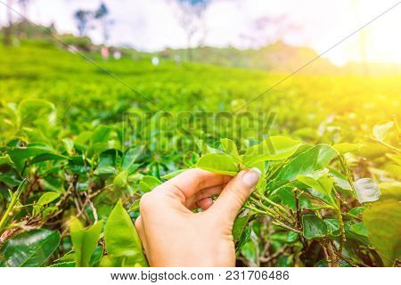 Hand Picking Up Green Tea Leaves At A Tea Plantation. Fresh Tea Leaves In A Tea Farm In Sri Lanka
