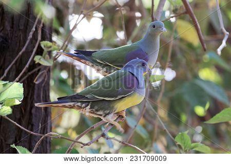 A Pair Of Bruce's Green Pigeon (treron Waalia) In A Tree.