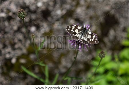 Beautiful Butterfly On Violet Rhaponticum: Insects Theme