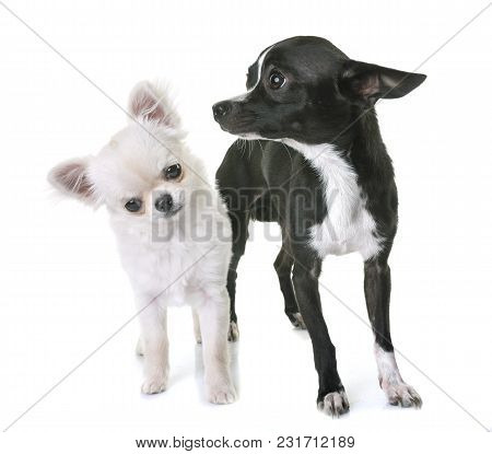 Young Chihuahuas In Front Of White Background