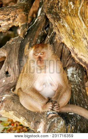 Crab-eating Macaque (macaca Fascicularis) Sitting At The Beach On Phi Phi Don Island, Krabi Province